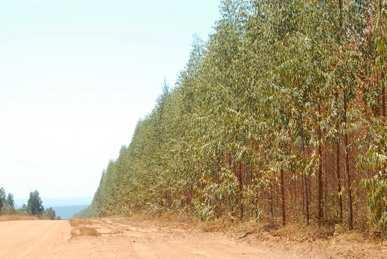 monocultures of eucalyptus, with the aim of producing the charcoal used in the steel industry.