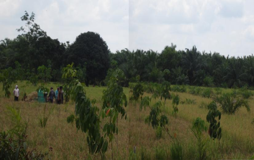 Figure 2 People Harvesting Paddy in Muara Sabak, East Tanjung Jabung District: Paddy Transforms into Rubber and Oil Palm Plantations R.