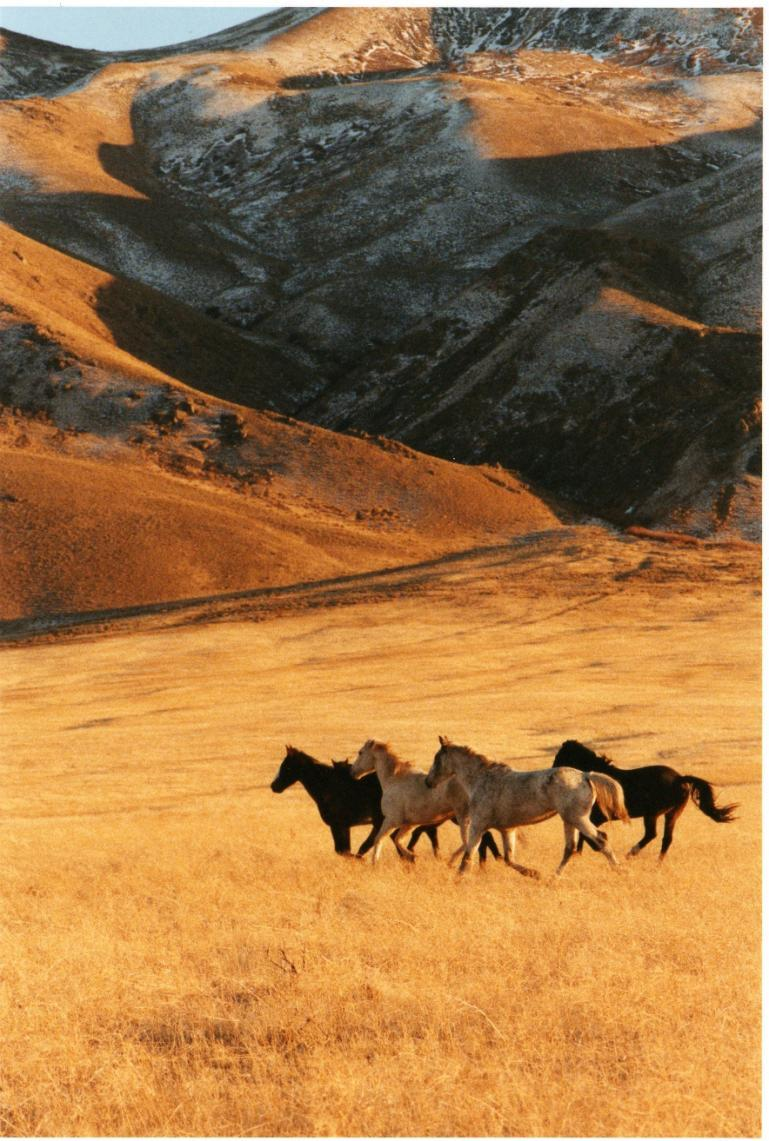 Western Shoshone horses on traditional Western Shoshone land in Nevada.