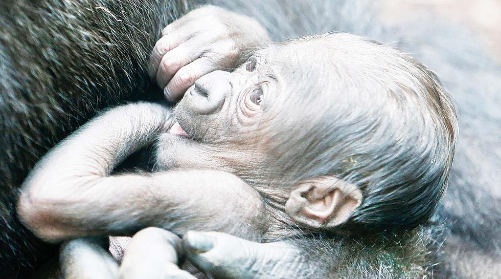 The zoo said staff had yet to identify its gender body parts as the baby remains too closely attached to its mother. When a gorilla is born, that s always a very special event.