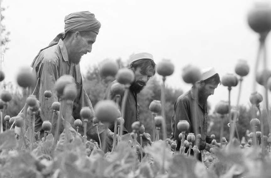 DRUG TRADE 77 Afghan workers cut open poppy bulbs. Despite UN and Afghan government efforts, poppy cultivation and the drug trade still flourish.
