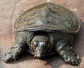 P a g e 157 ANIMALS/NATIONAL PARKS IN NEWS Animals/Species in news: Black Softshell turtle Part of: Prelims - Environment and Biodiversity; Animal Conservation In news: Nilssonia